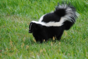 1283174-best-animals-wallpaper-striped-skunk-1283174